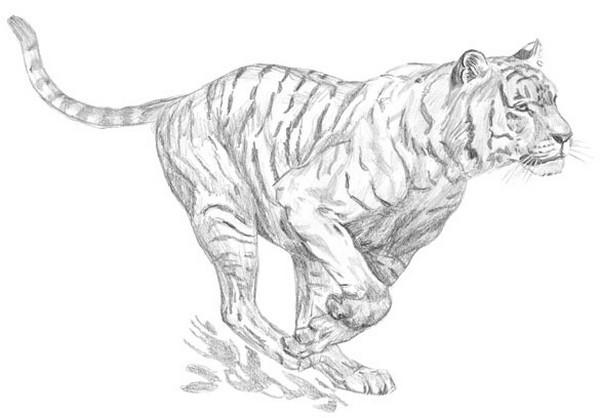 Animaux et insectes divers - Image dessin tigre ...