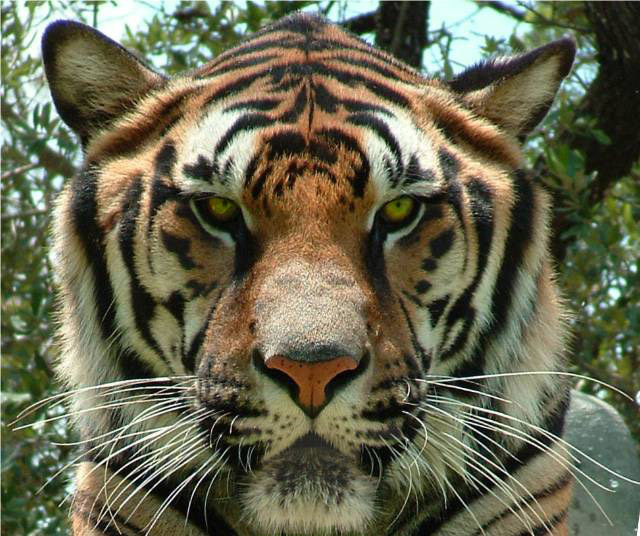 Tete de tigre magnifique centerblog - Image tete de tigre ...