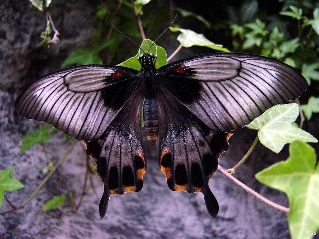papillon animé